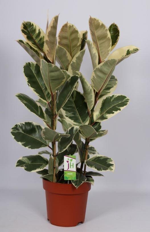 Ficus elastica 'Tineke' (rubberboom)