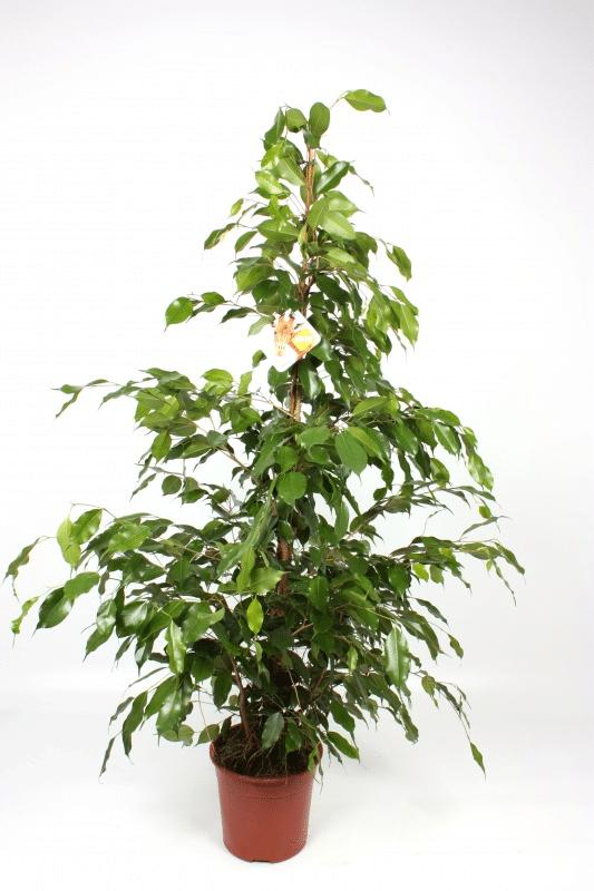 Ficus 'Exotica'