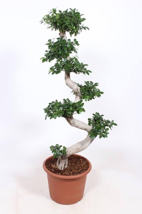 Ficus 'Microcarpa' (bonsai) 100 - 125 cm
