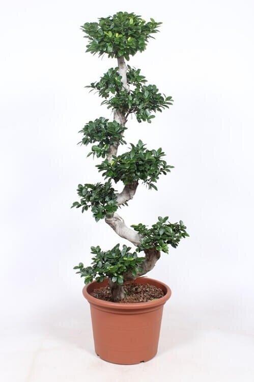 Ficus 'Microcarpa' (bonsai) 125 - 150 cm