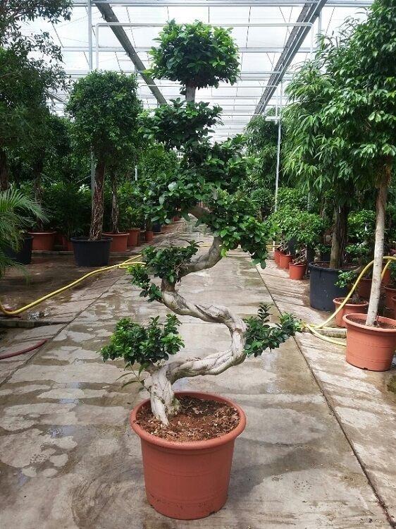Ficus 'Microcarpa' (bonsai) 150 - 175 cm