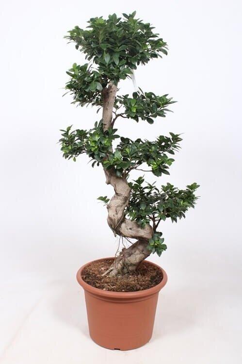 Ficus 'Microcarpa' (bonsai) 80 - 100 cm