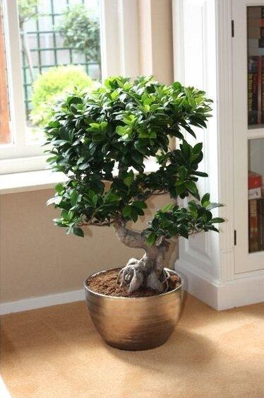 Ficus Microcarpa Bonsai Kopen Tuincentrum Nl