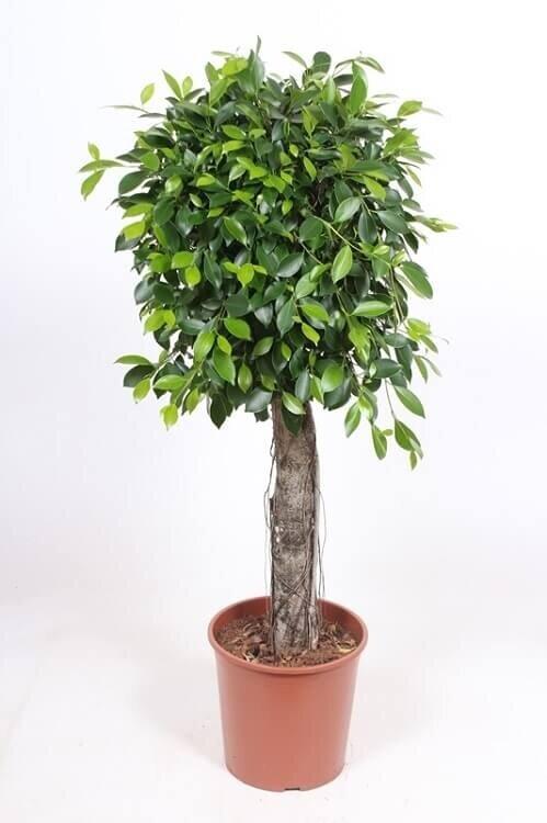 Ficus 'Nitida' rechte stam 100 - 125 cm