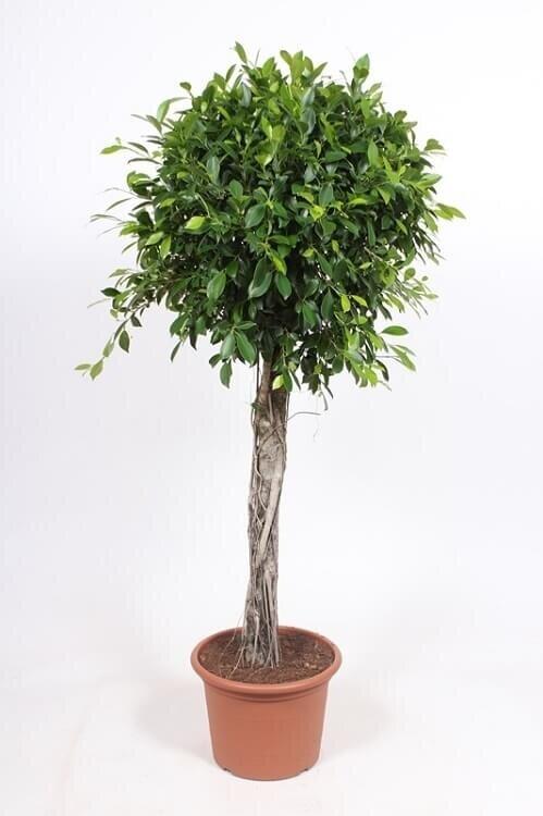 Ficus 'Nitida' rechte stam 125- 150 cm