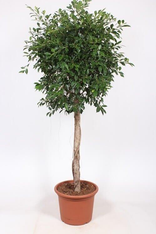 Ficus 'Nitida' rechte stam 150 - 175 cm