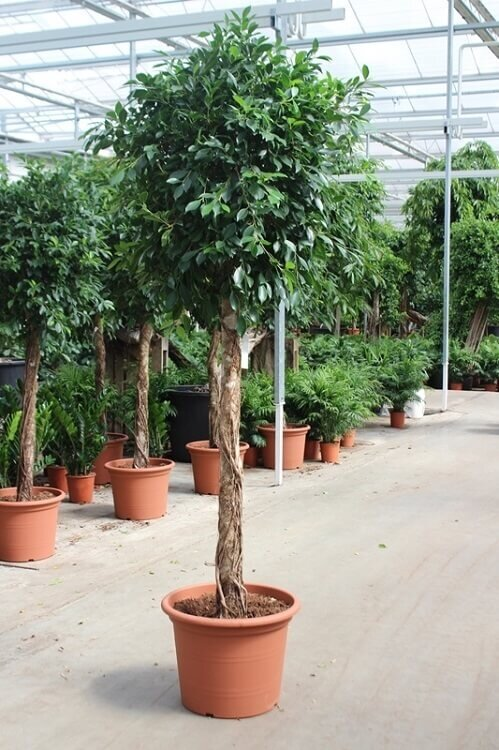 Ficus 'Nitida' rechte stam 175 - 200 cm