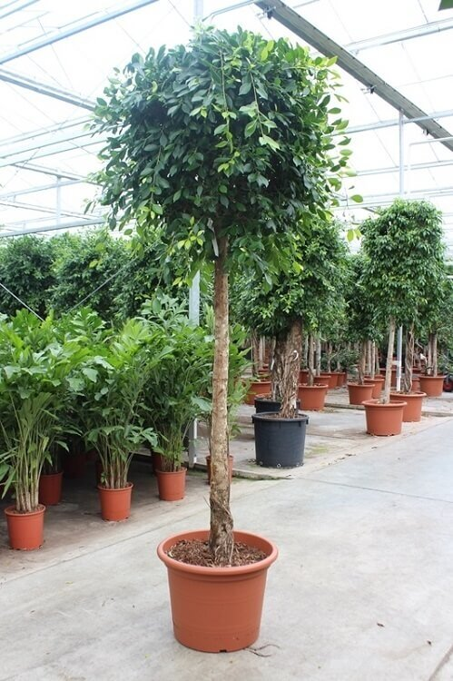 Ficus 'Nitida' rechte stam 225 - 250 cm