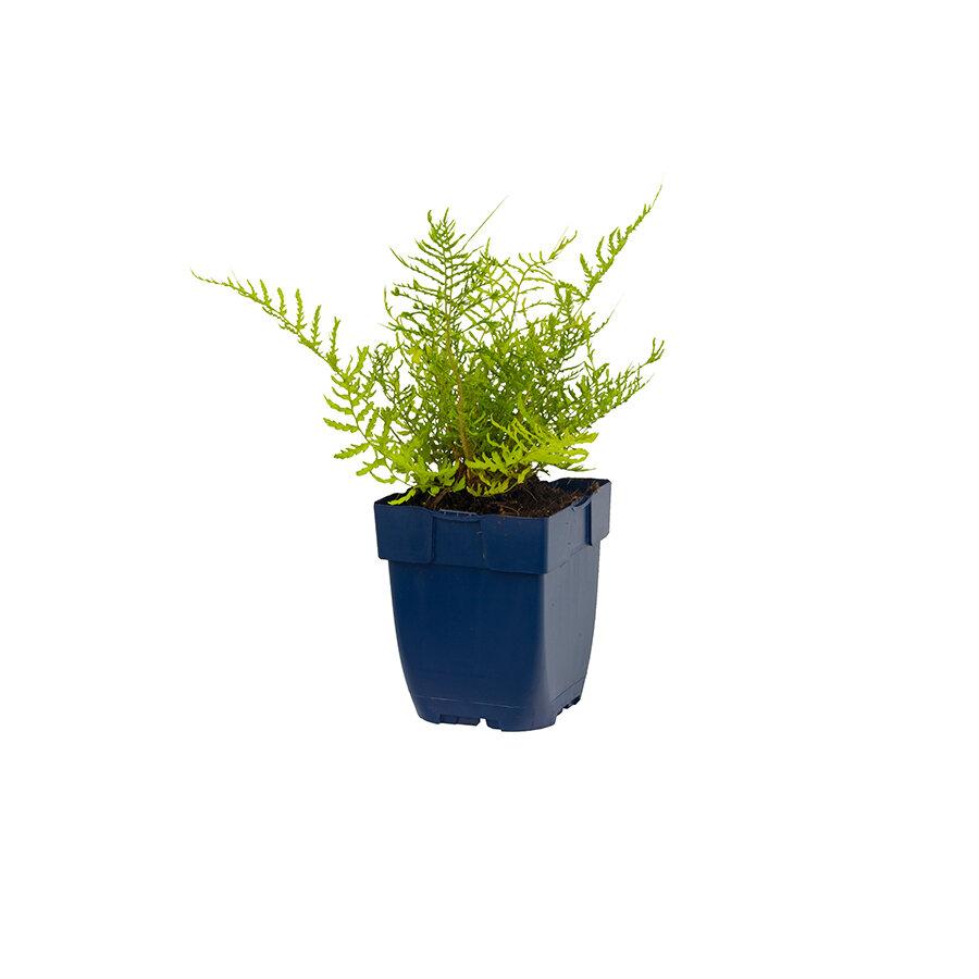 Tuinvaren in kweekpot