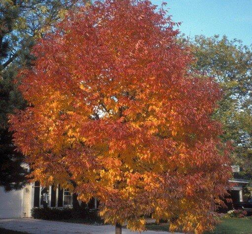 Fraxinus angustifolia 'Raywood'