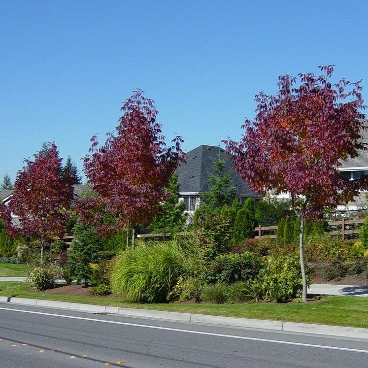 Fraxinus americana 'Autumn Applause' herfstkleur