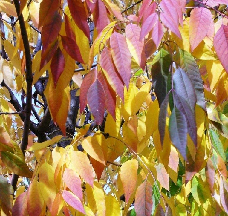 Fraxinus americana 'Skyline' herfstkleur