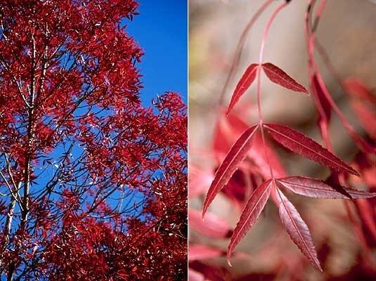 Fraxinus angustifolia 'Raywood' herfstkleur