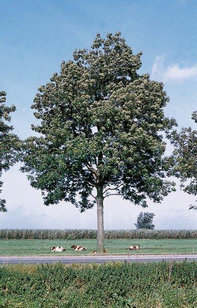 Fraxinus excelsior 'Atlas'