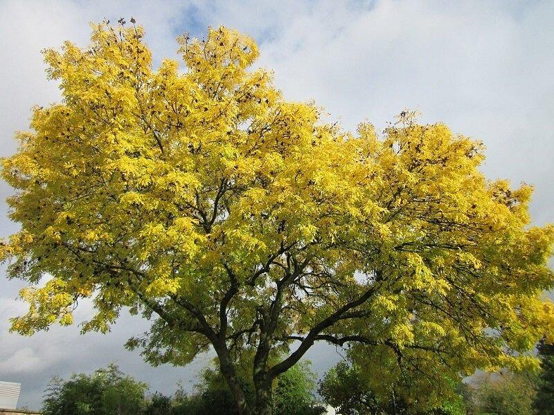 Fraxinus excelsior herfstkleur