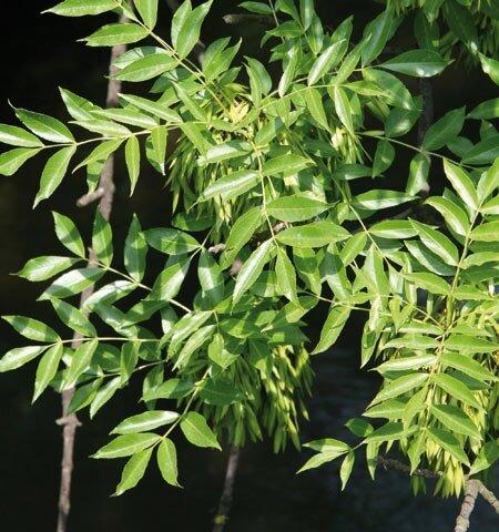 Fraxinus excelsior 'Westhof's Glorie' blad
