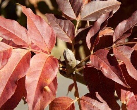 Fraxinus ornus 'Meczek' herfstkleur