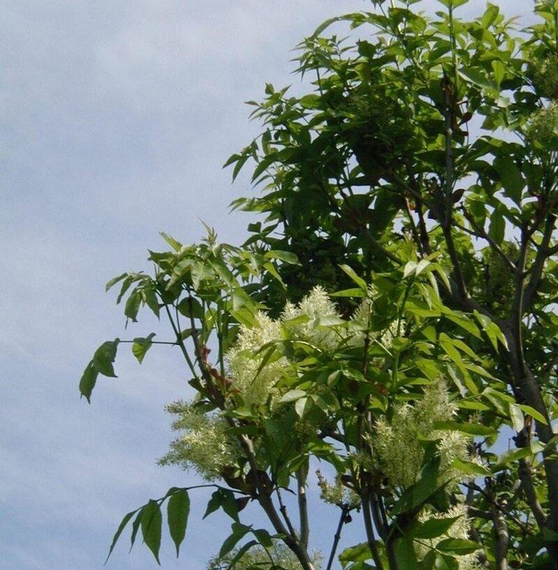 Fraxinus ornus 'Obeliks'