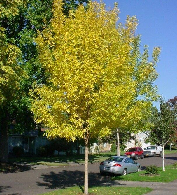 Fraxinus pennsylvanica 'Summit' herfstkleur