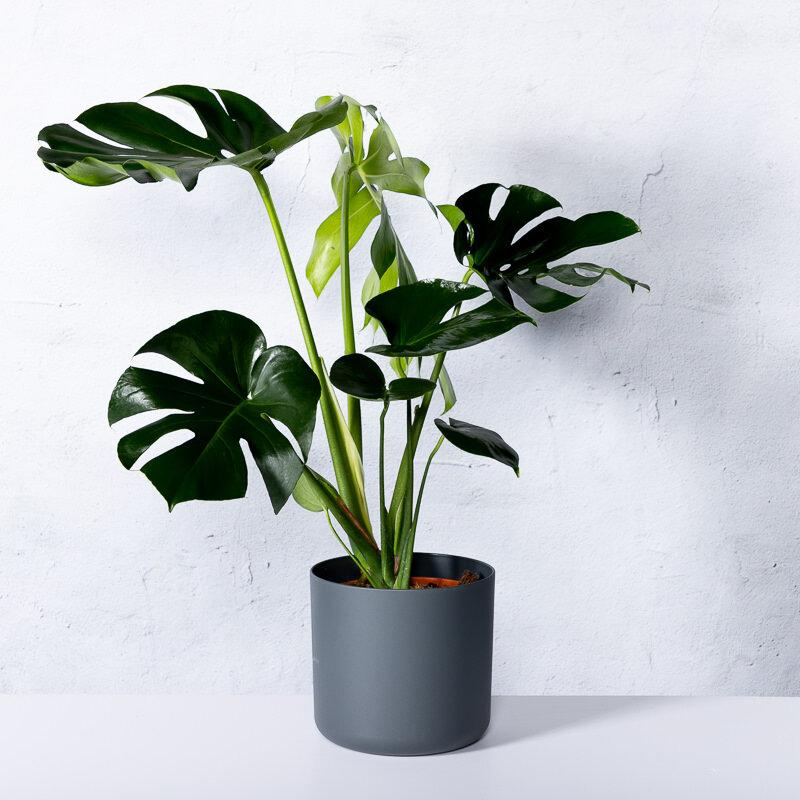Philodendron monstera deliciosa (gatenplant)