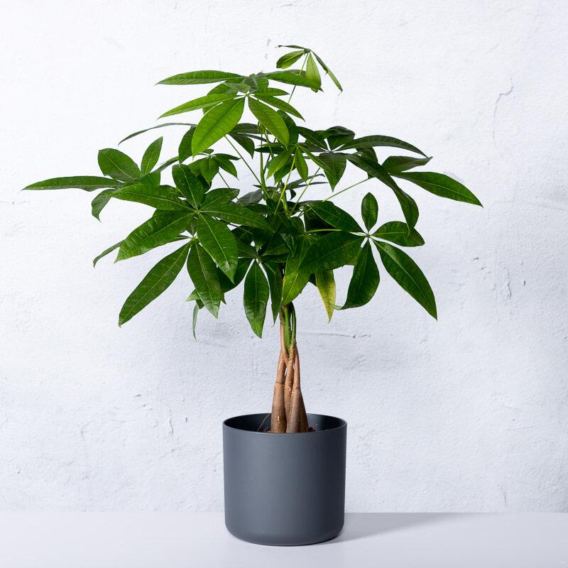 Pachira (geldboom)