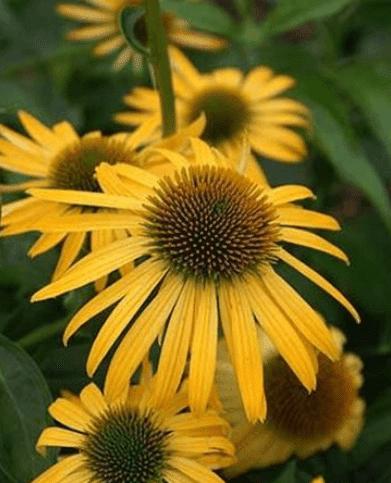 Echinacea 'Harvest Moon' (gele zonnehoed)