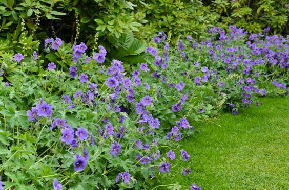 Geranium 'Rozanne' borderbeplanting