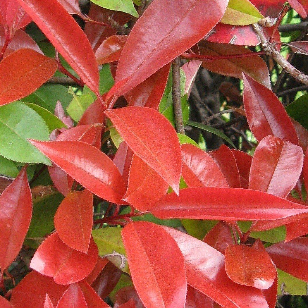 Glansmispelhaag (Photinia fraseri 'Red Robin') close up