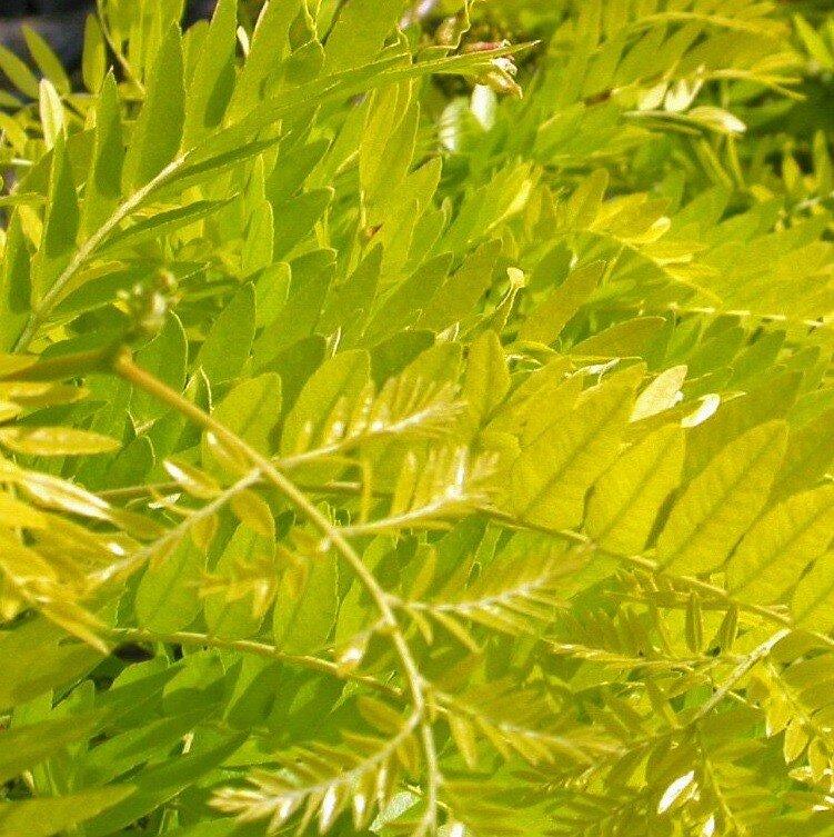 Gleditsia triacanthos 'Sunburst' - blad