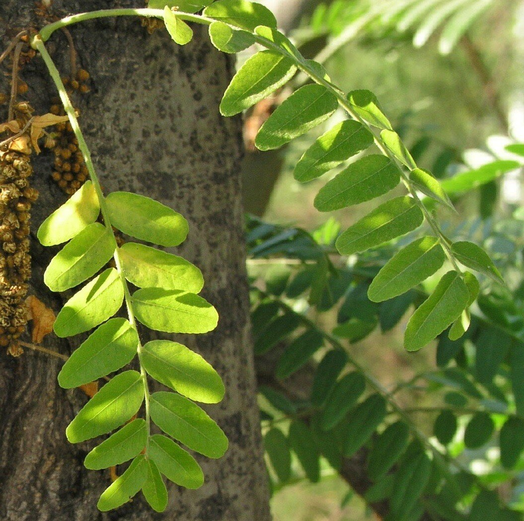 Gleditsia triacanthos blad