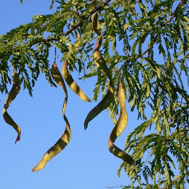 Gleditsia triacanthos peulvruchten