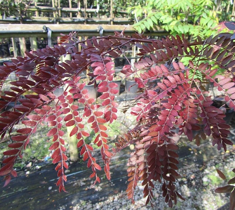Gleditsia triacanthos 'Rubylace' herfstkleur