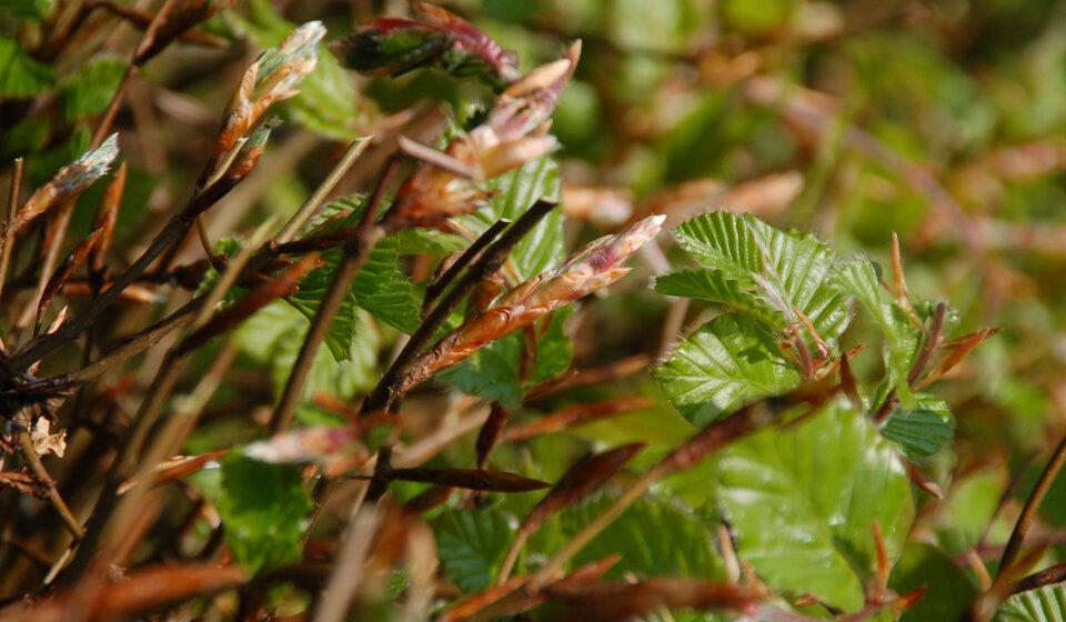 Groene beukenhaag blad van dichtbij