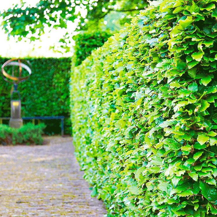 Groene beukenhaag (Fagus sylvatica)