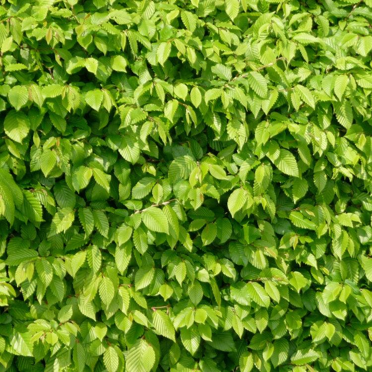 Haagbeuk (Carpinus Betulus) zomer