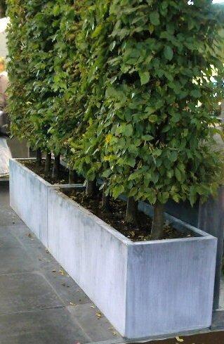 Haagbeuk (Carpinus Betulus) in plantenbakken