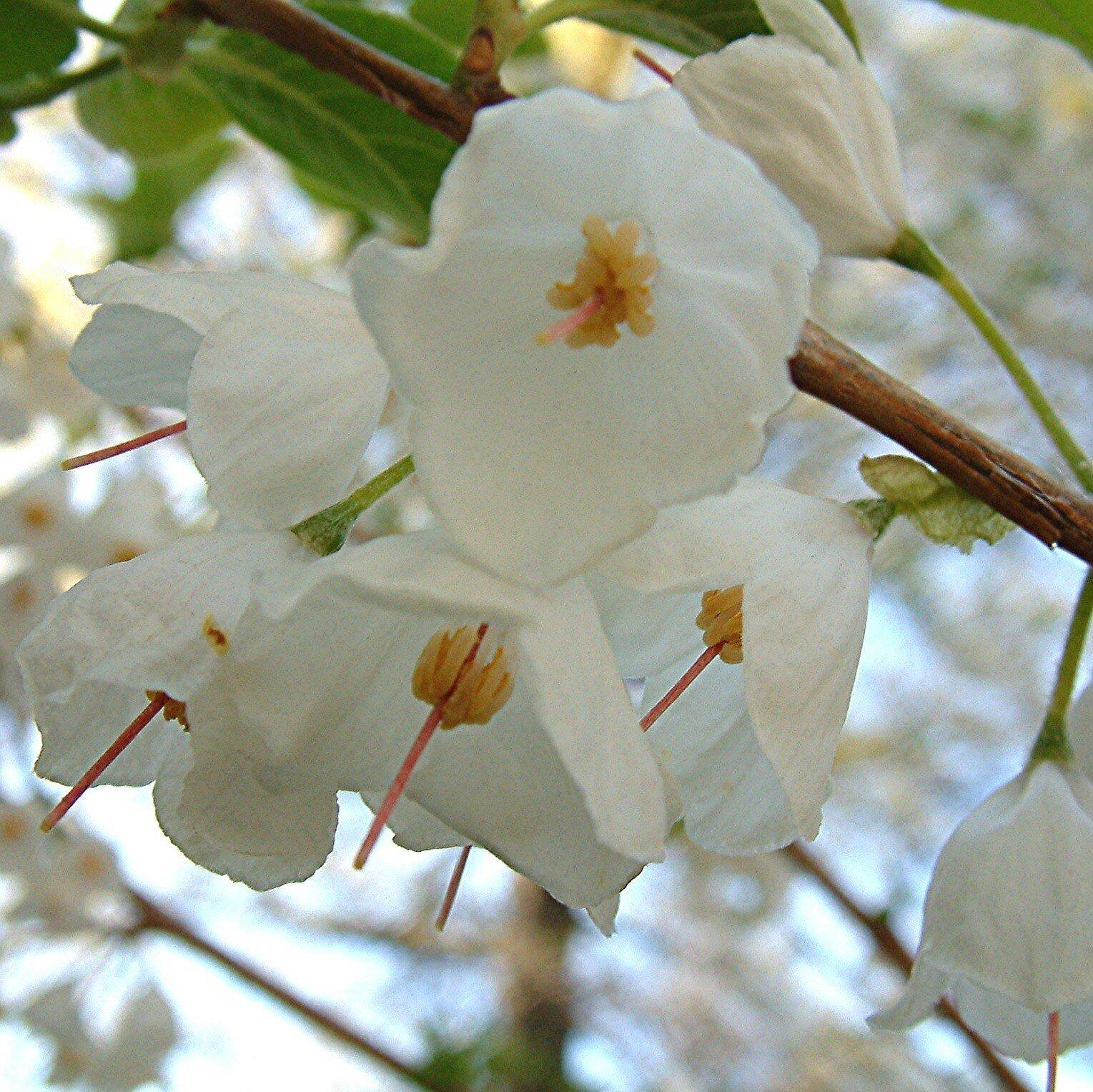 Halesia carolina - blad