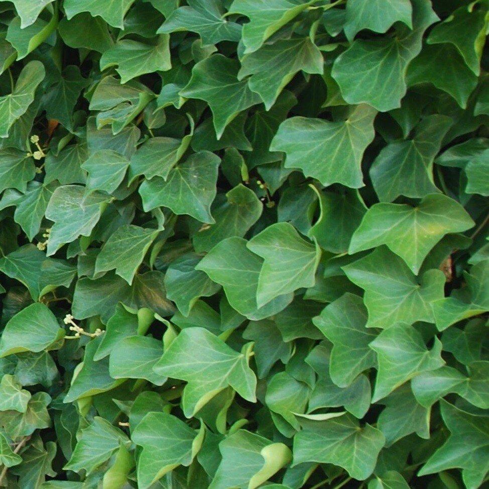 Hedera hibernica (grootbladige klimop)