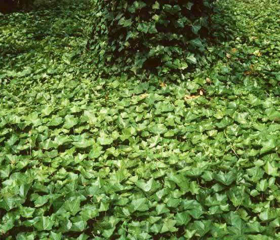 Hedera hibernica kan ook als bodembedekker