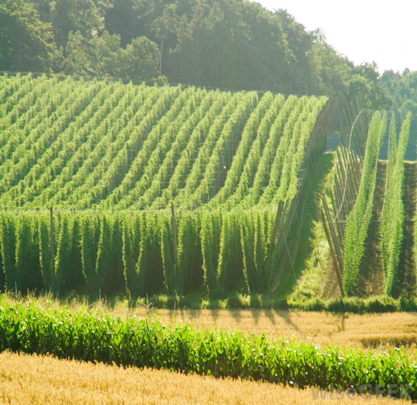 Hopplant kopen nederland