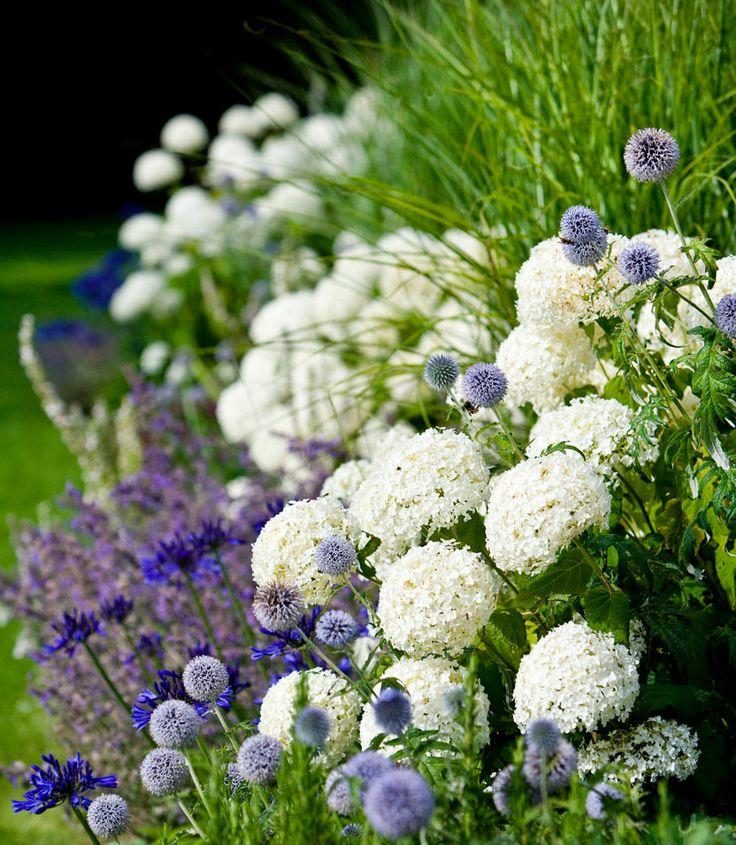 Hydrangea arborescens 'Annabelle', sneeuwbal hortensia