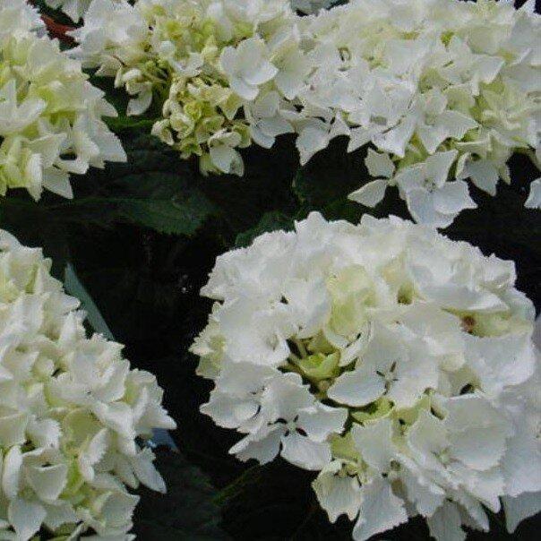 Hydrangea macrophylla 'Madame Emile Mouillère'