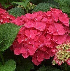 boerenhortensia rood