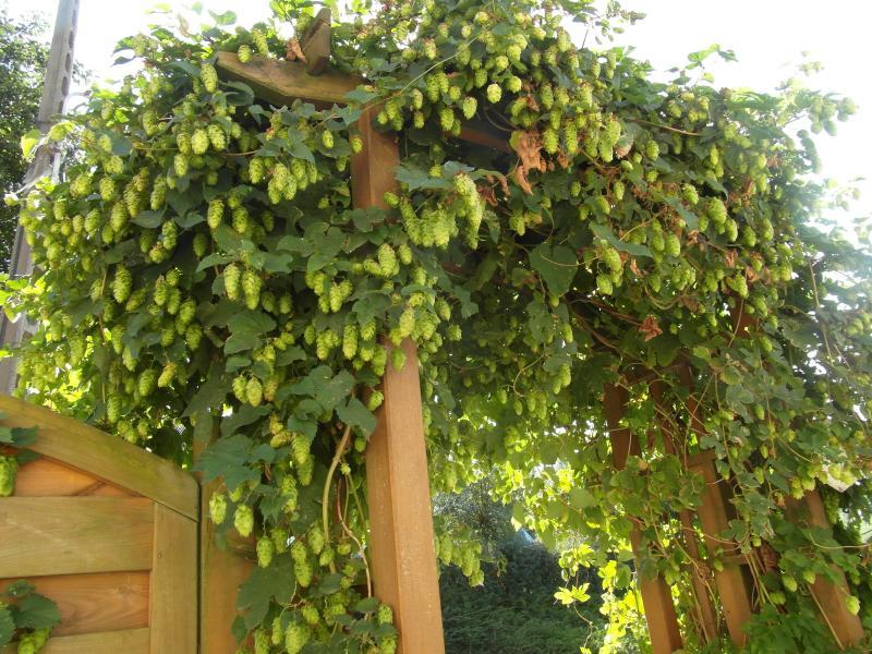 Humulus lupulus kopen gratis bezorgd bij - Pergola klimplant ...