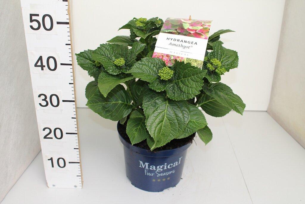 Hydrangea macrophylla 'Magical Amethyst'