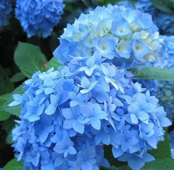 Boerenhortensia blauw