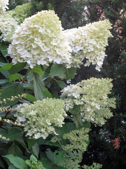 hydrangea paniculata 39 grandiflora 39 kopen. Black Bedroom Furniture Sets. Home Design Ideas