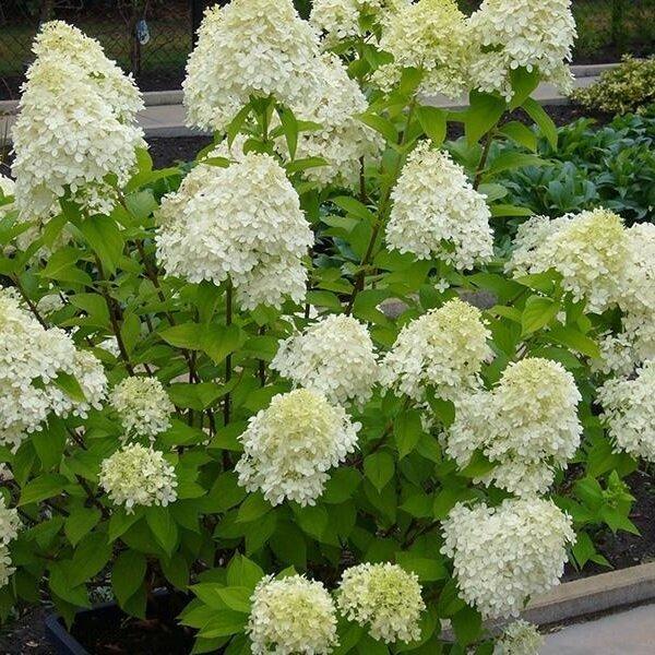 hydrangea paniculata 39 limelight 39 kopen. Black Bedroom Furniture Sets. Home Design Ideas