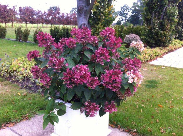 Hydrangea paniculata 'Wim´s Red' ®