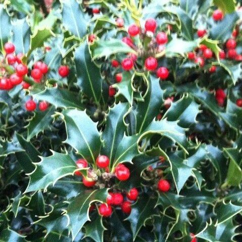 Ilex aquifolium 'Alaska'
